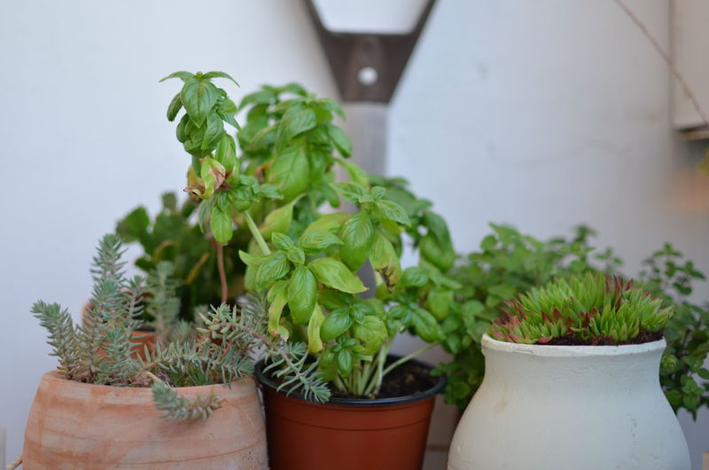 Close-Up Of Potted Plants Against White Wall