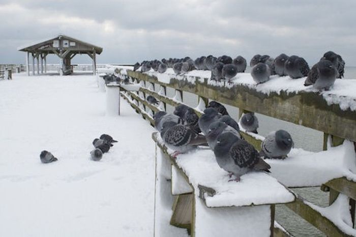 Life Is A Beach Snow ❄ Pidgeons Birds Pier Beach Snow Wildlife Surfside Beach