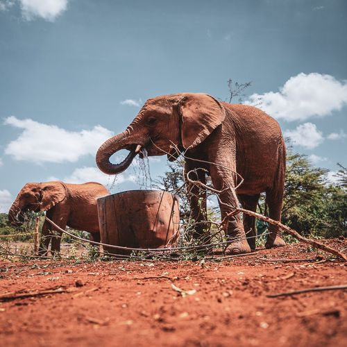 Animal Themes Mammal Animal Domestic Animals Pets Vertebrate Domestic Sky Land Cloud - Sky Field Day Nature One Animal Livestock Animal Wildlife Standing Brown No People Herbivorous Outdoors Nairobi Africa African Elephant Elephant