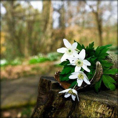 Vitsippor Flower Spring Sunshine In Love