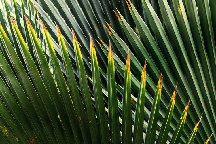 Green Color Leaf Pattern Growth Full Frame No People Close-up Plant Backgrounds Plant Part Palm Leaf Frond Tropical Climate Natural Pattern Beauty In Nature Green Nature Palm Tree Day Outdoors