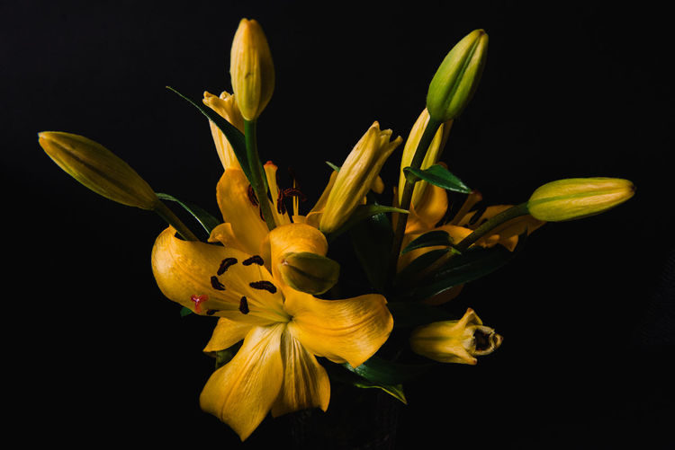Close-up of day lily against black background