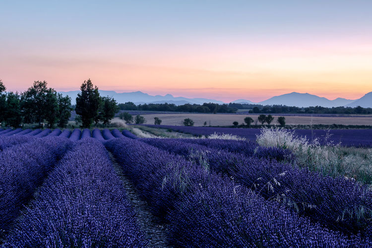 Purple haze Agriculture Beauty In Nature Environment Field Flower Flowering Plant Growth Idyllic Land Landscape Lavender Nature No People Outdoors Plant Purple Scenics - Nature Sky Tranquil Scene Tranquility Tree