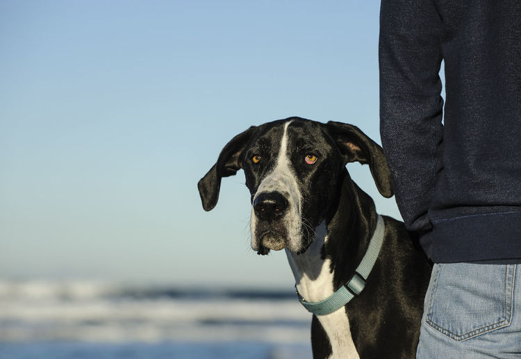 Great Dane dog One Animal Domestic Pets Great Dane Dane Domestic Animals Purebred Dog Animal Themes Dog Sky Real People One Person Casual Clothing Standing Pet Owner Jeans Lifestyles Leisure Activity Beach