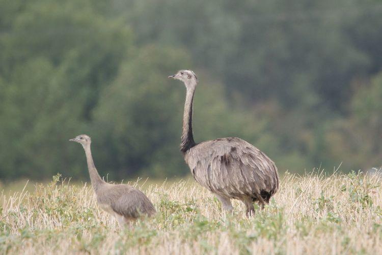 Nandu Natur Tiere Vogel Vogel Nandu Ratzeburg Bird Ostrich Grass Sky Close-up Young Bird Baby Chicken Feather  Leg