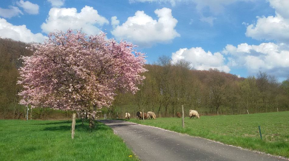 Countryside landscapes Nature Beauty In Nature Cloud - Sky Growth Grass Landscape No People Animal Themes EyeEm Gallery Eyem Gallery Freshness Pink Blossoms Cherry Blossoms Spring Blossom Countryside Path Plants And Trees Cows Beef Galloway Almond Tree In Blossom Sprockhövel Germany South-Kirkby-Straße