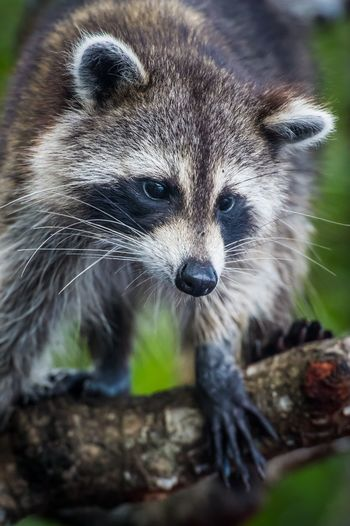 Low angle view of raccoon on tree