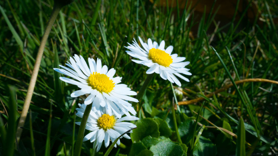 Flower Flowering Plant Freshness Plant Fragility Vulnerability  Beauty In Nature Growth Petal Flower Head Inflorescence White Color Close-up Yellow Nature Daisy Day Focus On Foreground Outdoors No People Pollen Spring