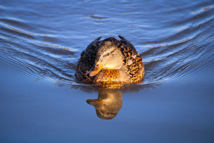 Close-up of duck swimming in lake reflection