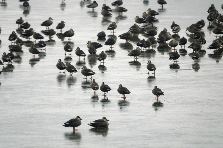 Juklim Lake, Taean, South Korea. Flock of winter migratory birds in the lake. Animals In The Wild Bird Cold Day Duck Frozen Ice Lake Large Group Of Animals Migratory Birds Nature No People Outdoors Rainy Day Winter