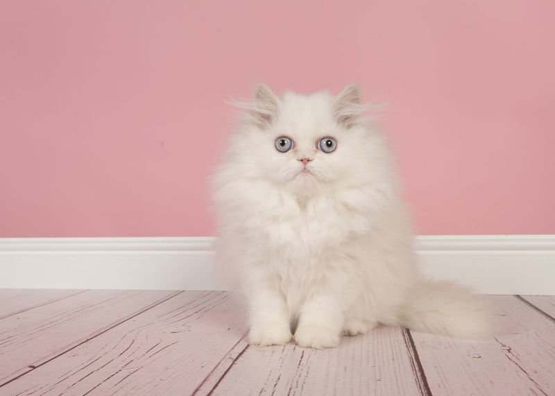White persian longhair kitten with blue eyes sitting in a studio living room on a pink background looking at the camera Blue Eyes Persian Cat  Cat Cute Kitten Feline Kitten Living Room Looking At Camera Persian Cat  Persian Kitten Pets Purebred Cat Sitting Studio Shot Whisker
