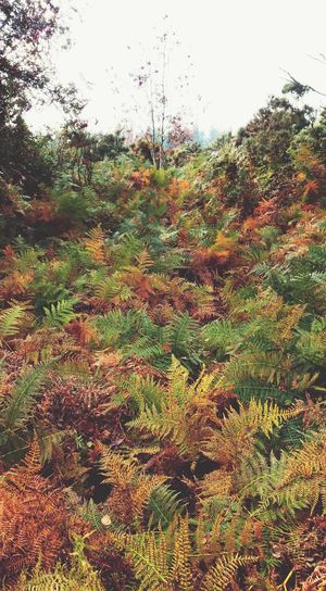 ... Fern dance ... Nature Growth Plants Autumn Fall Colors Colorful Wales Today Llanidloes Forest Woods WoodLand Walk Beautiful Outdoors Природа Landscape осень Otoño Pattern Leaves папортник