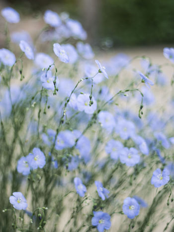 Flax flower (polish: len) Beauty In Nature Blossom Blue Blue Flowers Close-up Day Flower Flower Head Flowers flax Fragility Freshness Growth Linum Nature No People Outdoors Springtime Summertime Sunset Art Is Everywhere