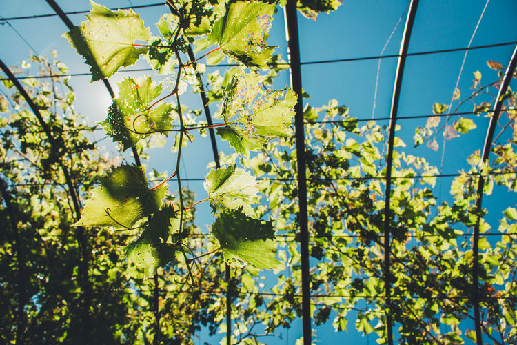 Low angle view of grape vines against blue sky