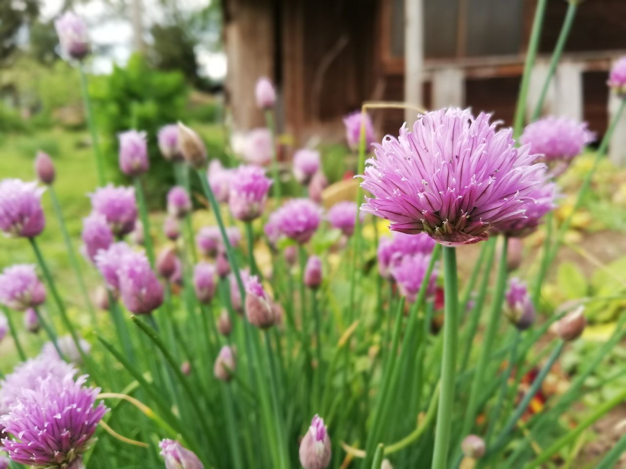 flowering plant, flower, plant, vulnerability, freshness, fragility, beauty in nature, growth, petal, close-up, pink color, inflorescence, flower head, purple, nature, no people, focus on foreground, field, day, land, springtime, outdoors