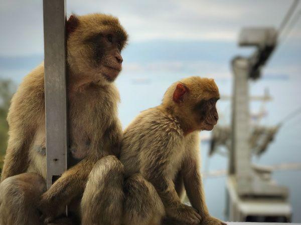 Eyeemawards18 Gibraltar Monkey Primate Animal Themes Animal Mammal Animal Wildlife Animals In The Wild Vertebrate Group Of Animals Outdoors Sitting Looking Ape Day