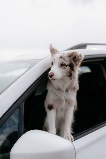 White dog looking away