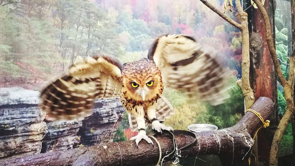 Wings Stare Flap Flappy Bird Talons Eyes Big Eyes Birds Of EyeEm  Birds Eye 🦉 Owl Portrait Close-up Animals In Captivity Captivity Animal Markings Zoo