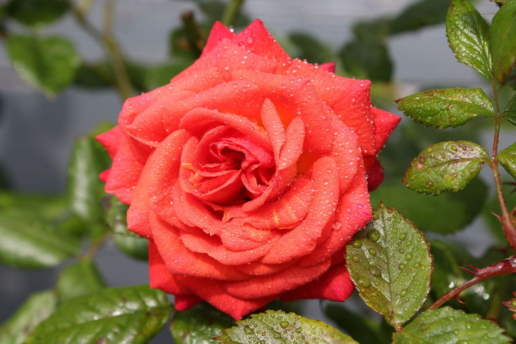 Gardening Green Macro Photography Nature Pink Red Beauty In Nature Botany Close-up Drop Flower Flower Head Flowers Freshness Garden Leaf Macro Macro_collection Nature_collection Outdoors Plant Plant Part RainDrop Rose - Flower Rose🌹