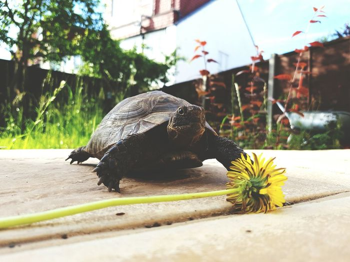 Tortoise reaching flower to feed
