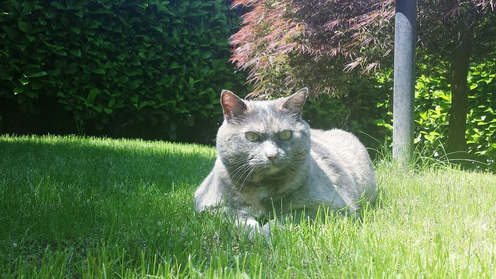 Pets Domestic Animals Grass One Animal Front Or Back Yard Outdoors Nature Cute Green Color No People Animal Themes Day Beauty In Nature EyeEmNewHere Funny Cat Photography Cat Lovers Cat Cats Of EyeEm Sunlight Colours Fiercefelines Fierce Ombrathecat
