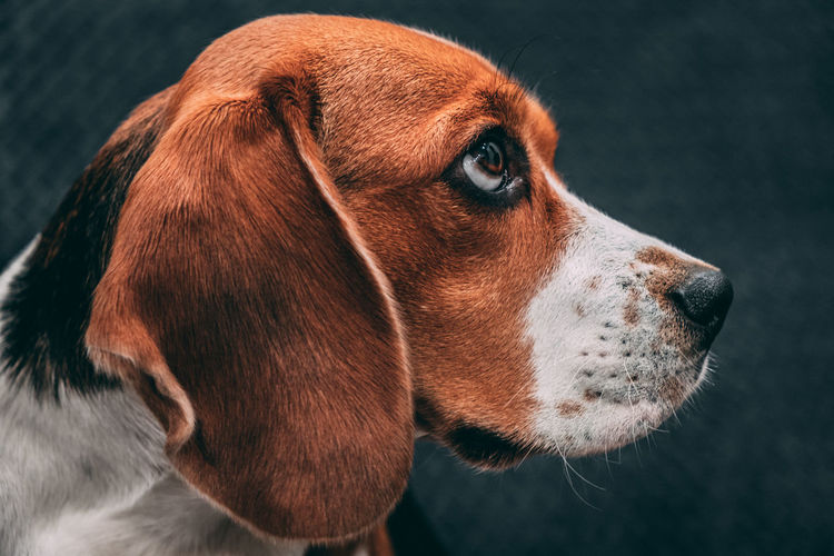 Portrait photo of a beagle dog expressively looking to the side. dog face close up.
