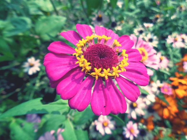 Flower Petal Pink Color Flower Head Plant Beauty In Nature Fragility Pollen Day No People Nature Purple Outdoors Growth Freshness Close-up Zinnia  Eastern Purple Coneflower