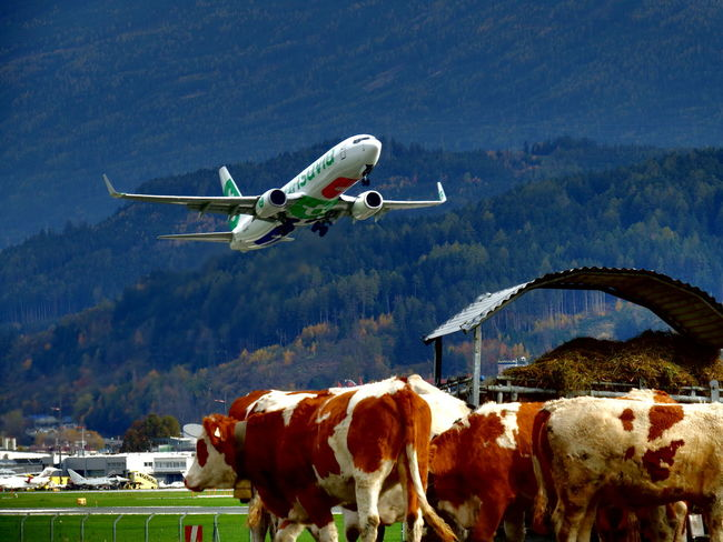 No problems for the animals next to the runway! Air Vehicle Airport Animal Themes Boeing 737 Cows Day Flying Mountain Nature No People Outdoors
