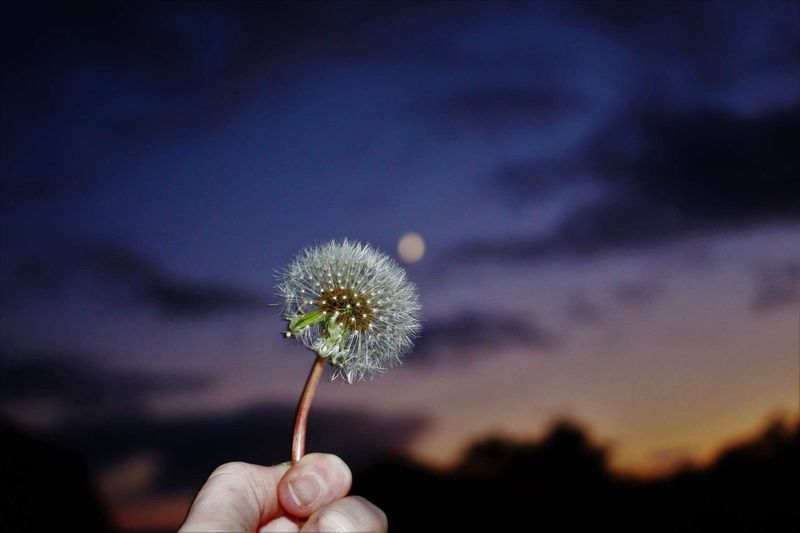 Photography Dandelion Flower Human Hand Human Body Part One Person Holding Real People Flower Head Nature Fragility Close-up Personal Perspective Outdoors Uncultivated Beauty In Nature Sky Plant Focus On Foreground Field Petal Sunset Scotland Cold Autumn The Minimalist - 2019 EyeEm Awards
