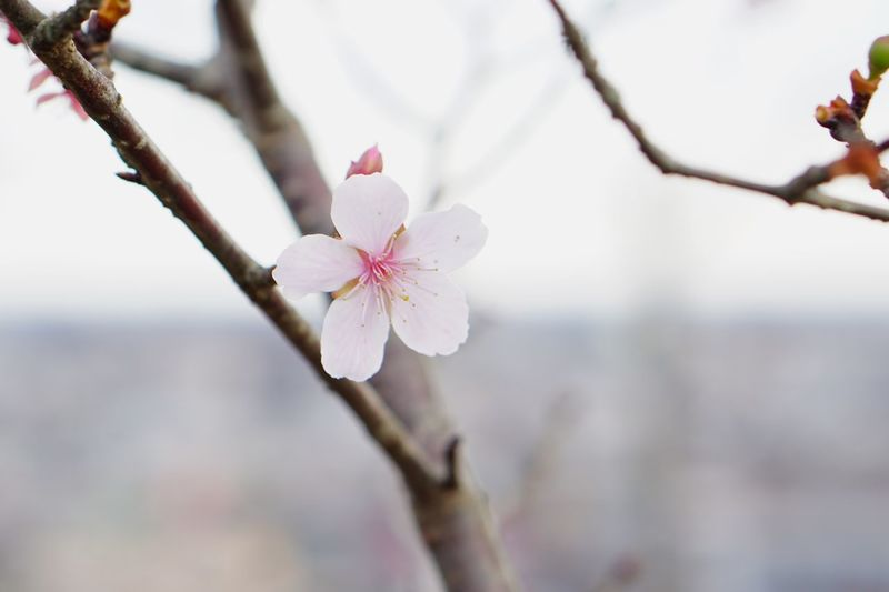 Winter Cherry Blossoms Flower Plant Fragility Freshness Tree Branch Petal Blossom Growth Close-up