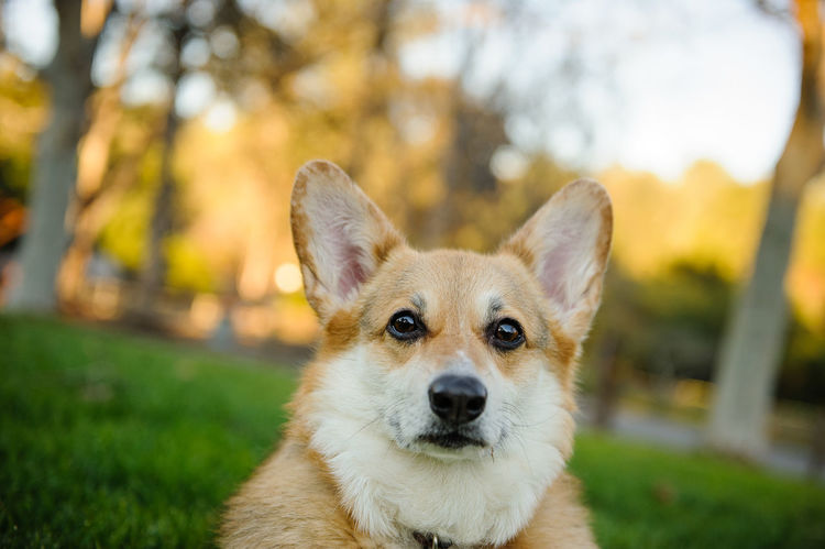 Welsh Pembroke Corgi dog outdoor portrait Welsh Welsh Pembroke Corgi Animal Animal Themes Canine Close-up Color Corgi Day Dog Domestic Animals Focus On Foreground Looking At Camera Mammal Nature No People One Animal Outdoors Outside Pembroke Welsh Corgi Pembrokeshire Pets Photography Portrait Purebred Dog