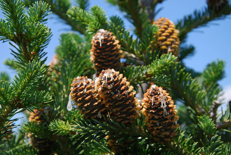 Pine cones on tree