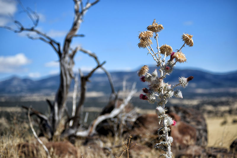 Snowy Thistle (Cirsium occidentale var.candidissimum) native to California, United States of America. This one was seen in Modoc County. Beauty In Nature Branch Close-up Day Field Flower Flower Head Focus On Foreground Fragility Freshness Growth Nature No People Outdoors Plant Sky Tree