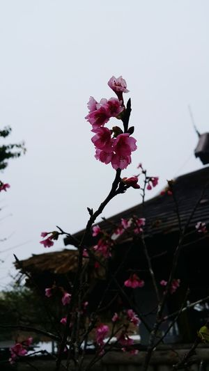 Cherry Blossoms Beauty In Nature Blossom Plant Nature Flower Close-up Foggy Day Monjam Chiang Mai | Thailand