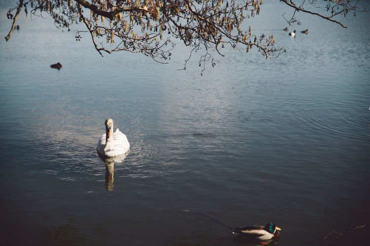 Beauty In Nature Bird Branch Day Duck Idyllic Lake Lakeshore London Nature No People Outdoors Pond Richmond Park, London Rippled Scenics Sky Spring Sunny Swan Tranquil Scene Tranquility Tree Water Water Bird