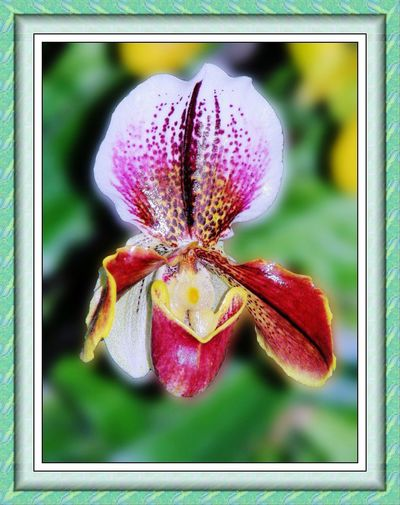 carnivorous orchid Carnivorous Flower carnivorous plant Insect-eating Orchid Ruby-red Orchid closeup Nature garden Beautiful But Deadly  in wait of a victim