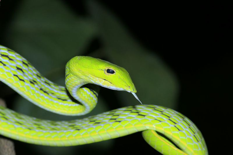 Green snake10 Reptile Black Background Branch Beauty Multi Colored Portrait Closing Full Length Social Issues Close-up Snake Rainforest Animal Eye HEAD Eye