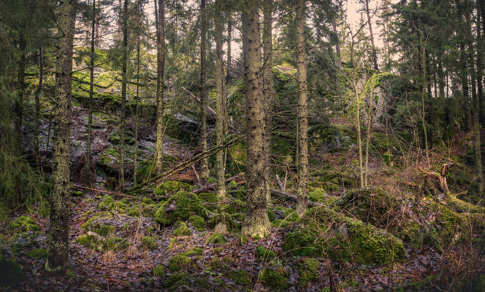 Scenic primeval forest landscape in southern Finland Beauty In Nature Day Deadwood  Forest Gloomy Weather Green Growth Landscape Moss Nature No People Outdoors Primeval Forest Scenics Spruce Tree Tree Area Tree Trunk WoodLand Woods