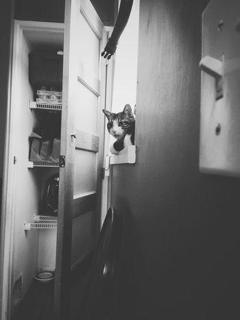 Condo Living Cat At Home Pet Cat Domestic Animals Cat On Window Door Open Indoor Cat Domestic Cat Housecat Black And White Closet Lightswitch Cat On Window Ledge Cat