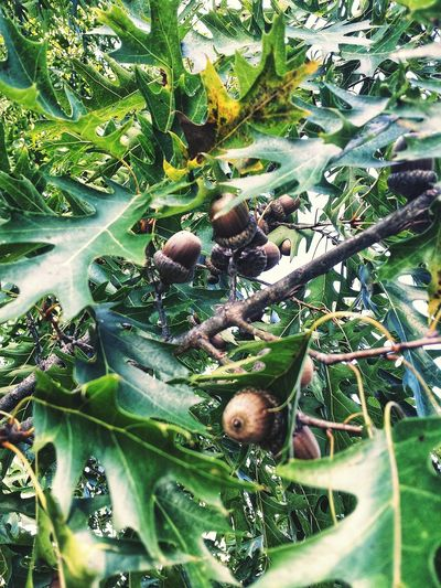Acorns Growing Looking Up Throughmyeyes In The Garden Oak Tree Tree Leaf Close-up Green Color Growing