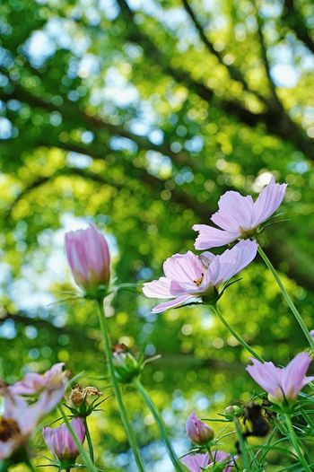 Low angle view of cosmos flowers in park