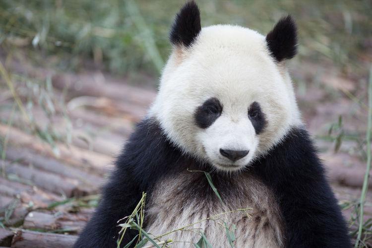Portrait of giant panda in zoo
