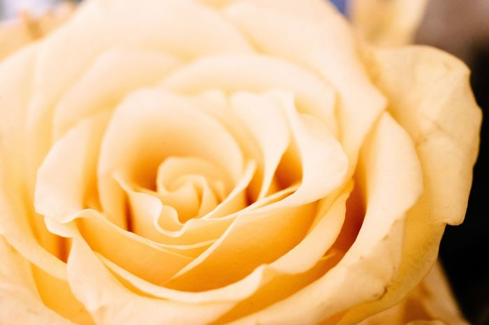 Yellow Rose - Flower Flower Flower Head Indoors  Yellow Flower Yellow Color Beauty In Nature In My House Atomosphere October October 2016 Time Is Running Out Roses Flowers
