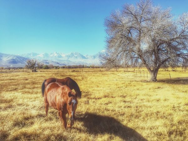 Horses Domestic Animals Animal Themes Mammal Grass One Animal Nature Field Livestock Clear Sky Tree Landscape No People Bare Tree Beauty In Nature Standing Day Scenics Outdoors Highland Cattle Sky Finding New Frontiers