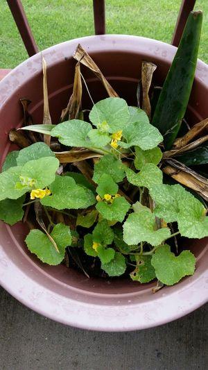 Cantaloupe plant Nature Streamzoofamily Flowers