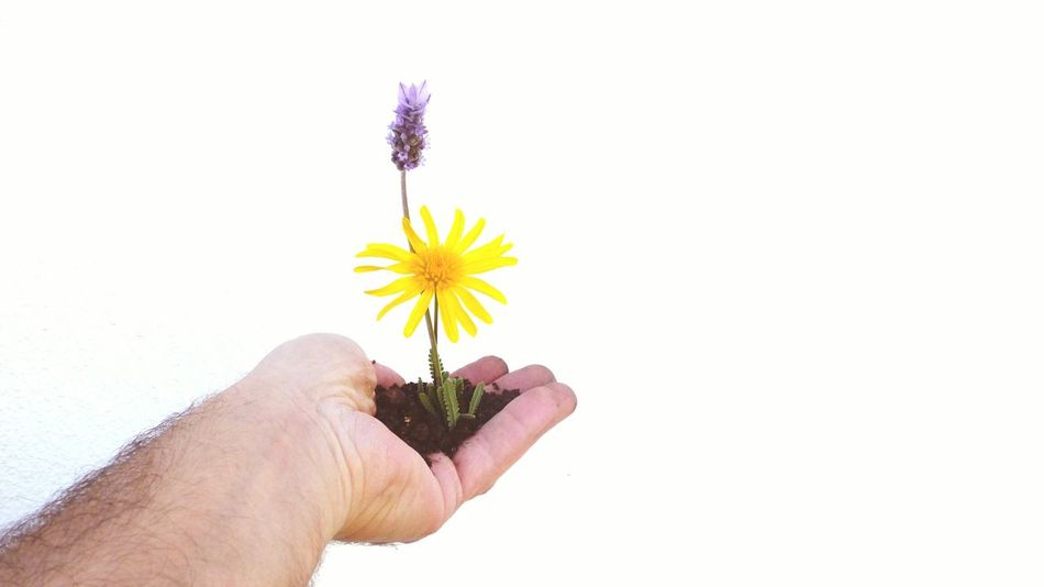 Showcase March How Do We Build The World? Yellow Flower Earth Hand White Background Flowers Grabbing Holding Nature On Your Doorstep My Hand  Macro Photography Flower On The Hand Close Up