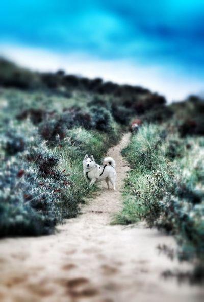 Skye my Siberian Husky Husky Dog