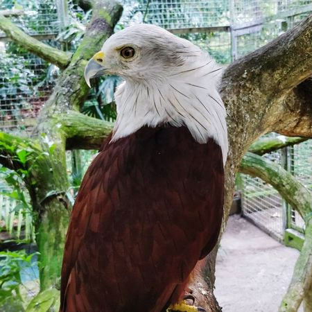 indonesian local bird Bald Eagle Alaska - Us State Animals In Captivity Spread Wings Aquarium Seagull Black-headed Gull Budgerigar Cage Cockatoo Birdcage Vulture Hawk - Bird HEAD Flapping Migrating Eagle - Bird Eagle Zoo Sea Bird EyeEmNewHere Going Remote