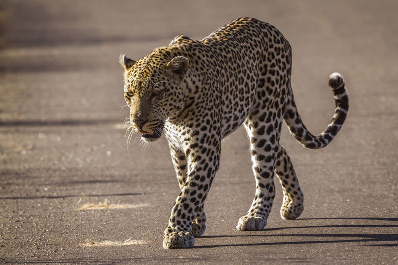 Full length of leopard walking on road