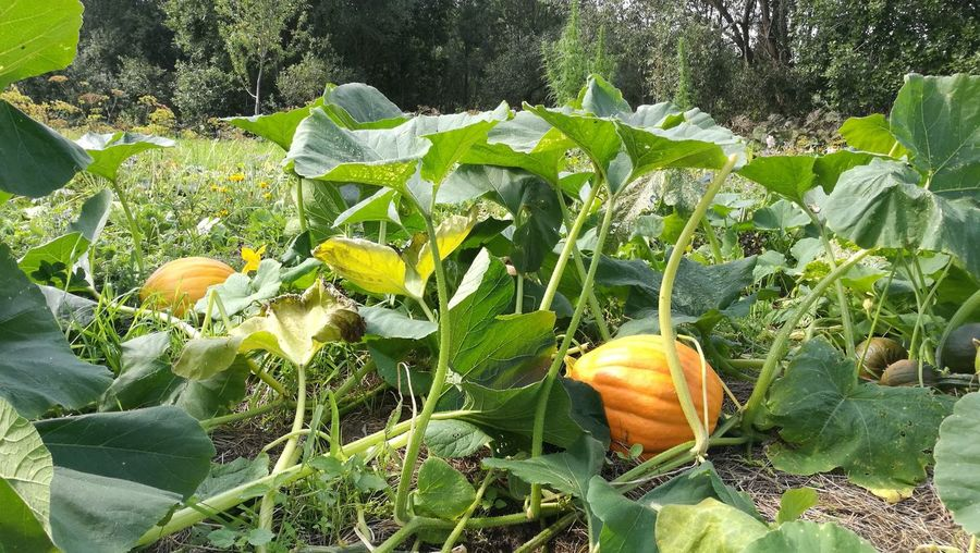 Pumpkin plantatoon Pumpkin Pmpkin Farm Garden Pumpkon Plantation Growing Pumpkin Two Is Better Than One